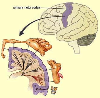 corteza motora primaria