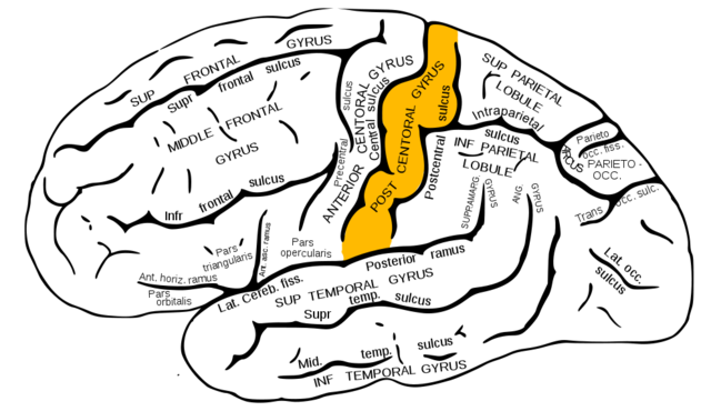 postcentral_gyrus