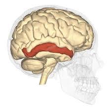medial temporal